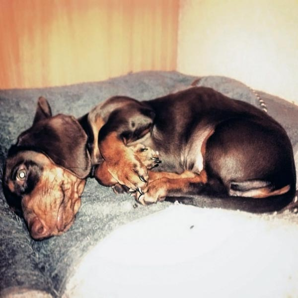 (15.12.2015 instagram, blogger, zveri) Коричневая такса Кэрри - чем не инопланетянин? - Спит у себя на подстилке