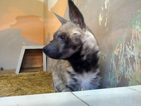 (16.02.2013 zveri) Екатеринбуржский зоопарк - Гиена. Смотрит на гостей