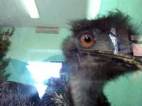 (16.02.2013 zveri) Екатеринбуржский зоопарк - Я дразню страуса