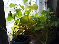 (18.05.2013 blogger) Проросшие растения - Тыква и клевер