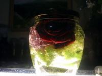 (02.06.2013 blogger) Цветы в глицерине - Роза в большой банке