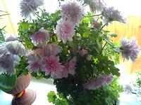 (02.06.2013 blogger) Выходные - Хризантема на окне