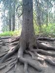 (06.07.2013 doroga) Природный парк Оленьи ручьи - Причудливые корни