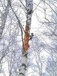 (16.12.2013 zveri) Дятел в лесу - Недалеко от Монастырки