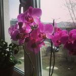 (02.05.2014 instagram, blogger) Фиолетовая орхидея - Цветет на окне