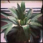(11.05.2014 instagram, blogger) Посадили ананас - Из Тайланда