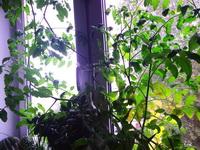 (05.09.2014 blogger) Помидоры Черри - На окне в комнате. Уже собрали несколько