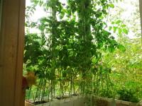 (05.09.2014 blogger) Помидоры на балконе - Хододновато им там. Да и темно этим летом