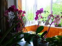 (25.05.2015 blogger) Орхидеи на окне - Переезжают, пока я все мою